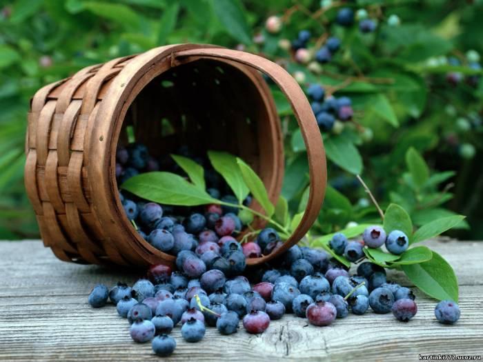 При подагре, ревматизме и заболеваниях почек рекомендуют есть свежие ягоды по 0,5-1...